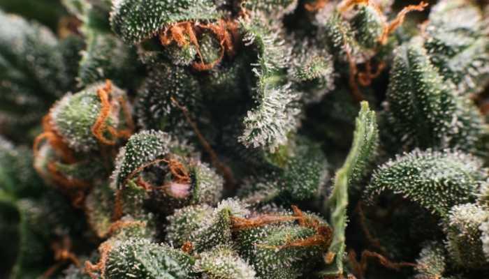 konopljini vrsicki